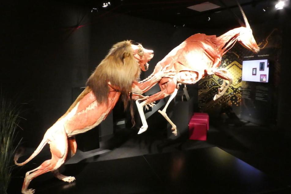 Löwe Icke krallt sich eine flüchtende Antilope.