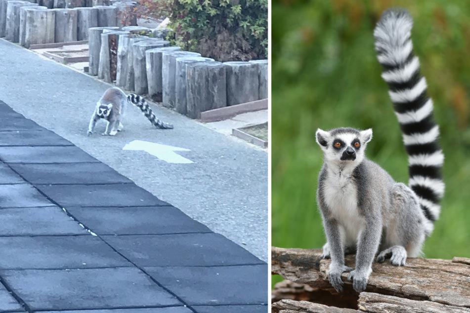 Lemur entkommt aus Zoo und hält Stadt in Atem