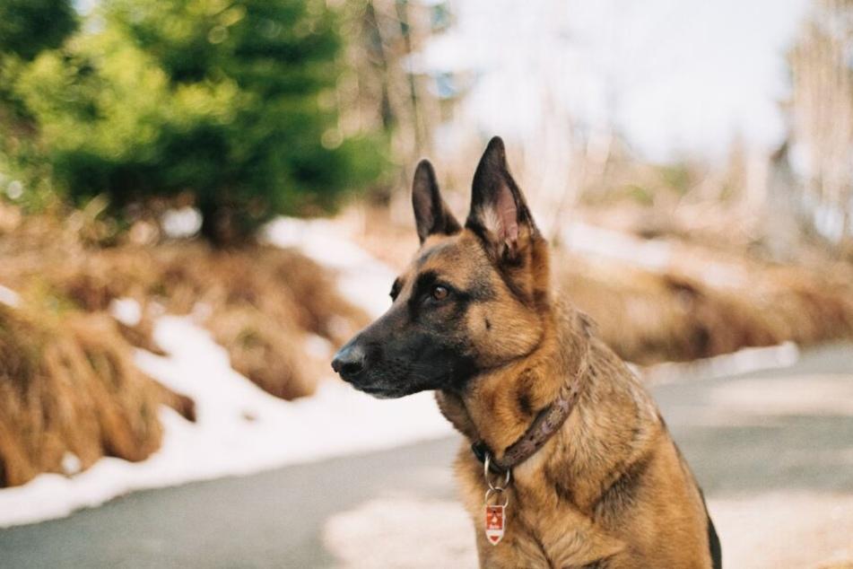Freilaufende Hunde sollten zu ihrer eigenen Sicherheit als Fundtier gemeldet werden.