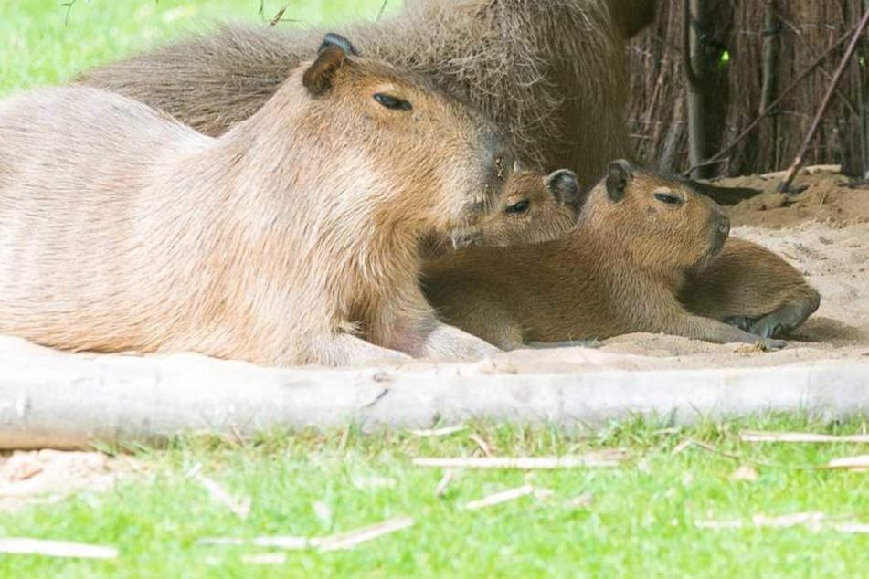Die drei kleinen Schweinchen vom Dresdner Zoo