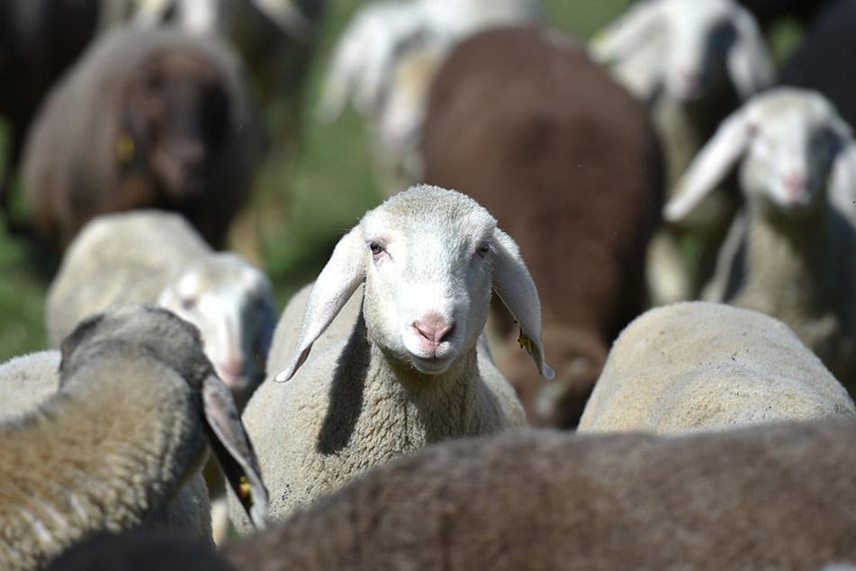 Die Stadt Leipzig muss klären, ob sie die Schafe kaufen muss oder eine Herde mieten kann.