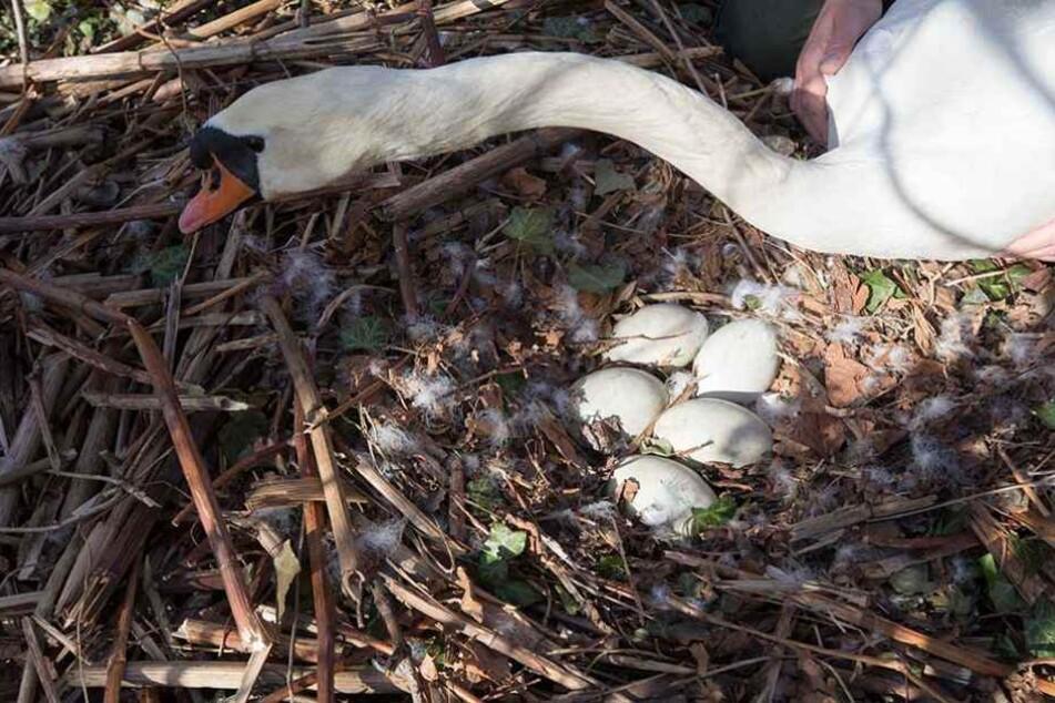 Im Schwanennest am Carolasee sind schon die Eier versteckt.