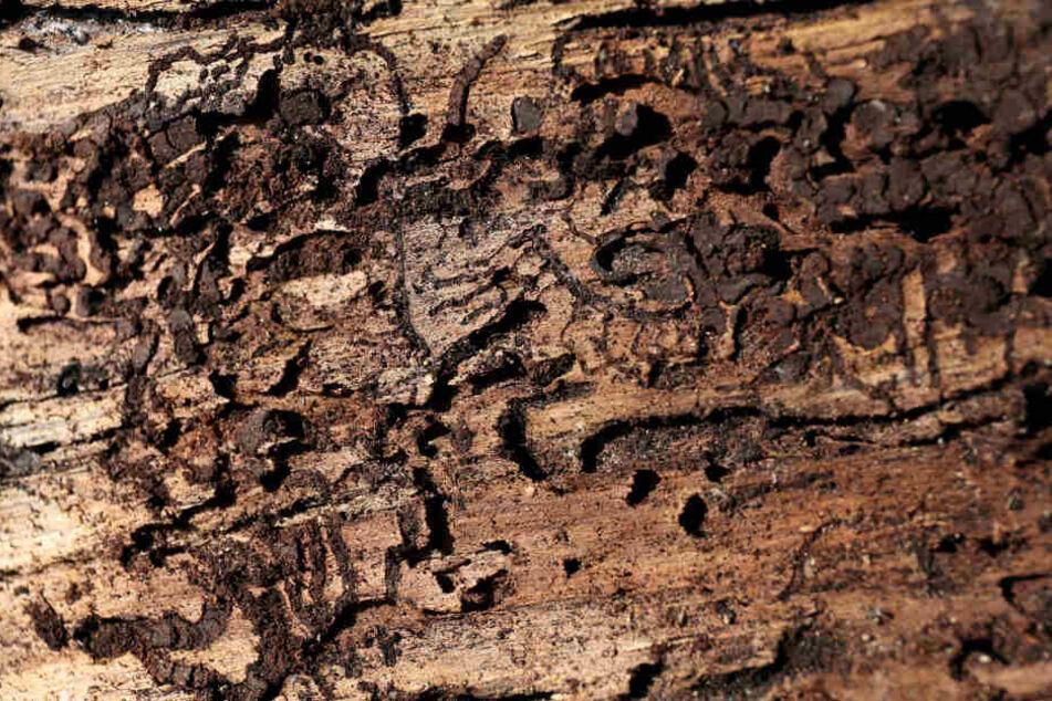 Spuren von Borkenkäfern sind in einer Baumrinde zu sehen.