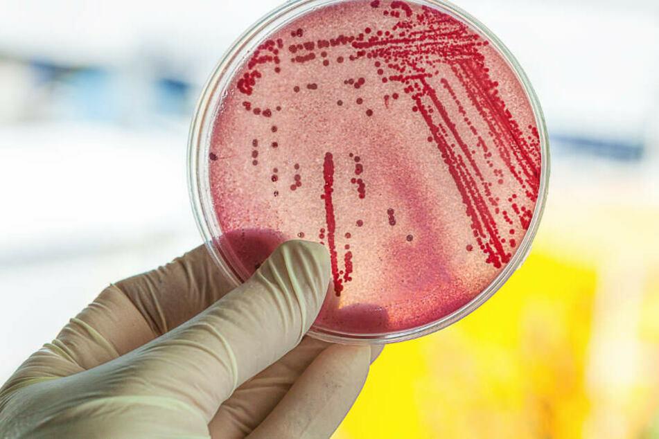 Bakterien tummeln sich in einer Petrischale in einem Labor. (Symbolbild)