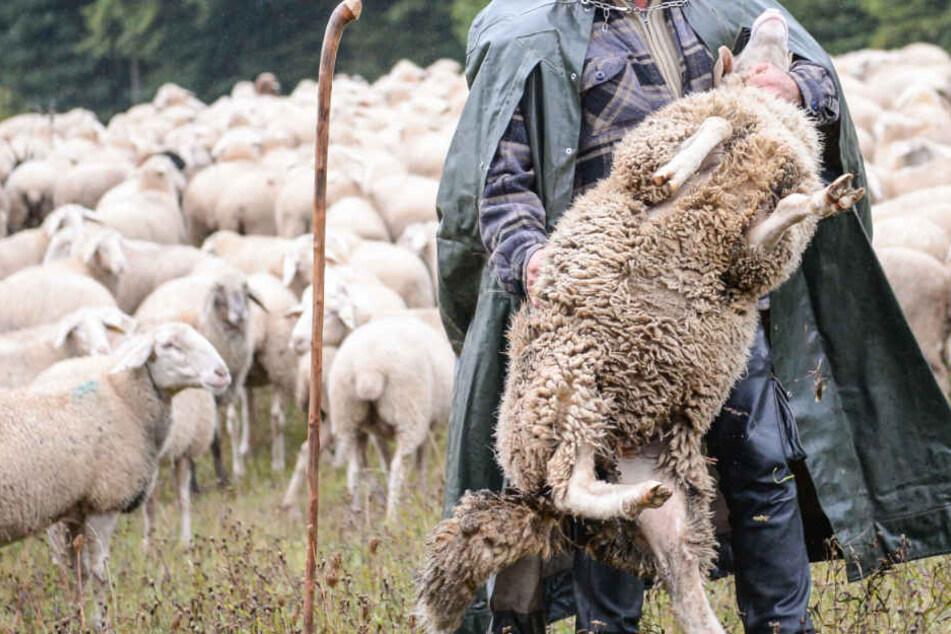 Das Schaf musste aufgrund der Verletzungen notgeschlachtet werden. (Symbolbild)
