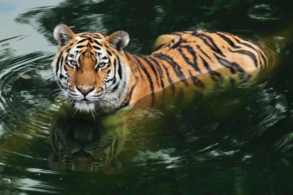 Das Geld wird für die Tiger-Anlage im Kölner Zoo und für Tiger in der Amur-Region verwendet.