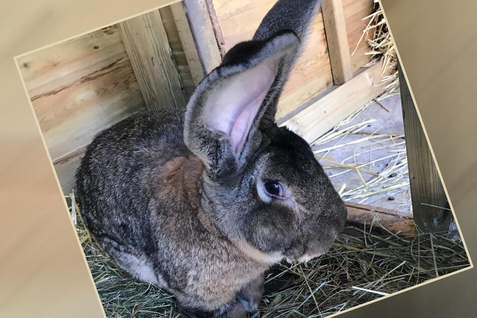 """""""Längstes Kaninchen der Welt"""" geklaut!"""