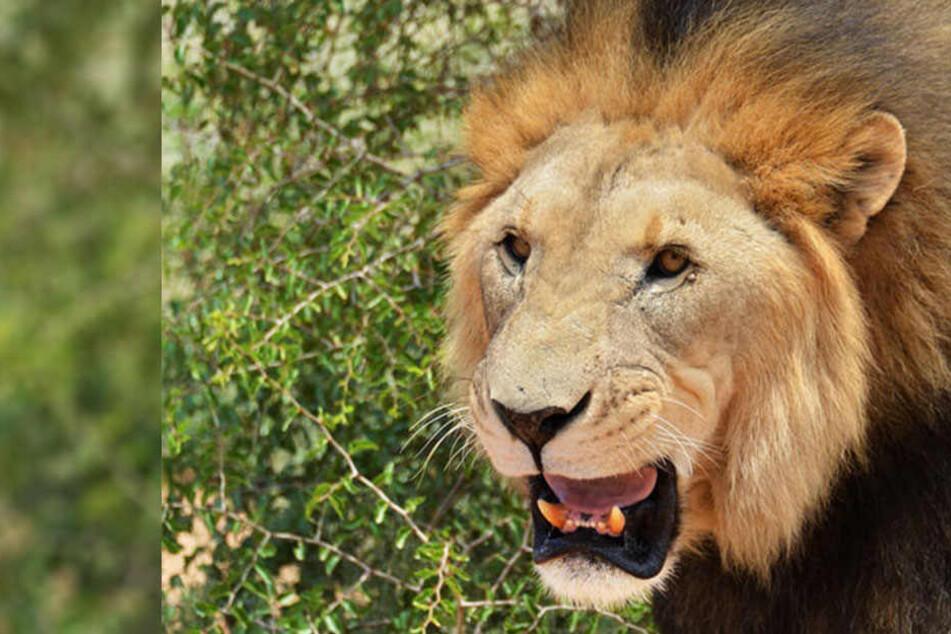 Mann (34) hält sich Löwen zu Hause und wird von einem zerfleischt