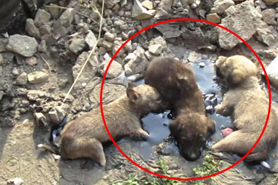 Anwohner hörten ihr Winseln: Hundewelpen in Teer-Pfütze gefangen