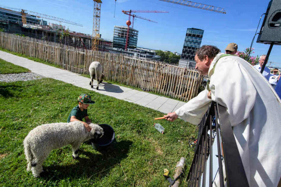 Auf diesem Münchner Dacht leben die Schafe schon über zwei Jahre lang – und haben inzwischen sogar Nachwuchs bekommen!