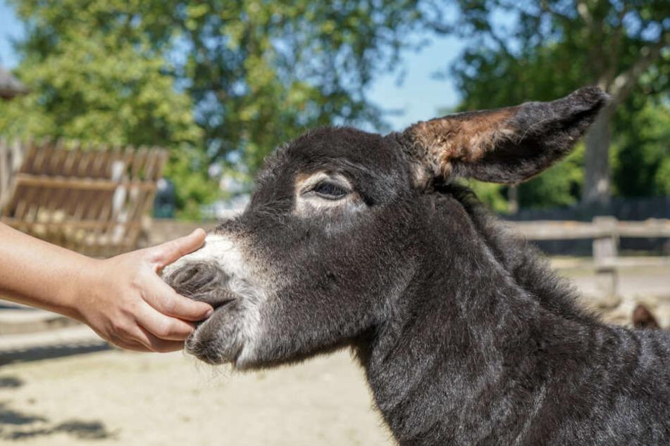 """Rund eine Woche alt ist der kleine Poitou-Esel """"Jean""""."""