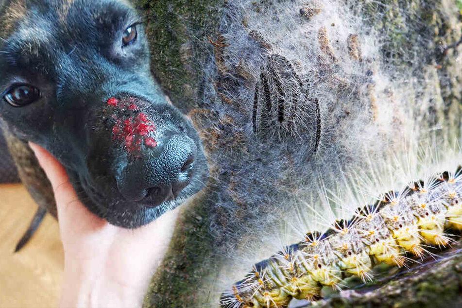 Jetzt greifen die Killer-Raupen sogar unsere Hunde an!