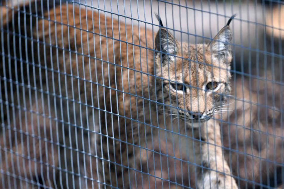 Gemeinsam mit Wildkatzen: Hier kann man Luchse bald aus der Nähe betrachten