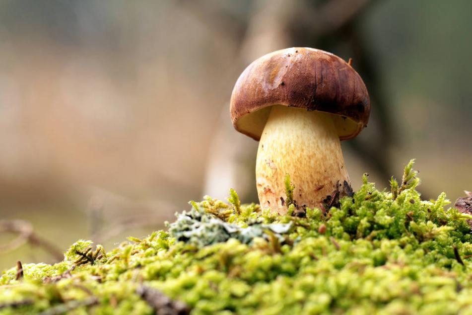 Speisepilze sind derzeit ein seltener Anblick in den Wäldern.