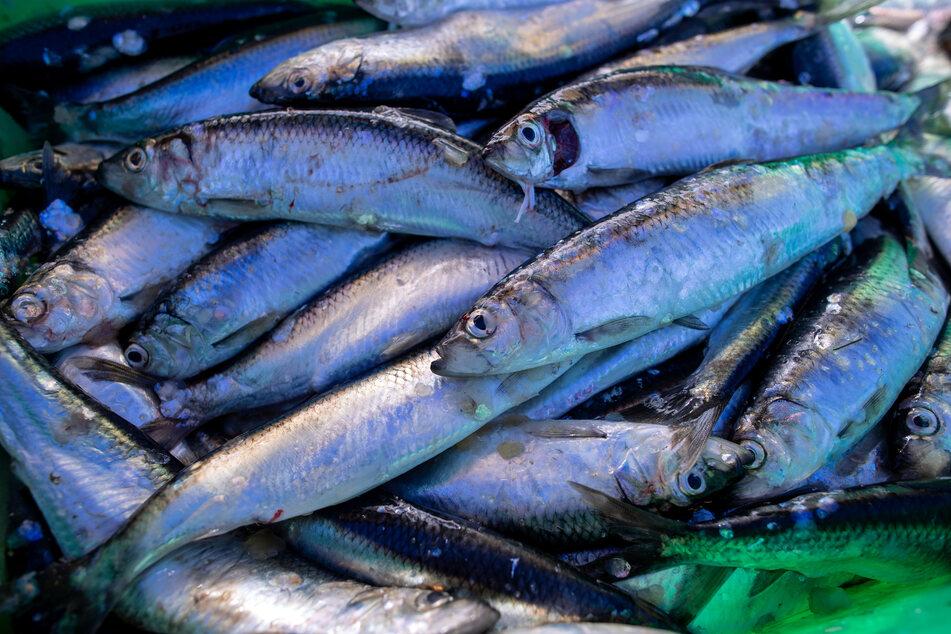 Ostsee: Gezielter Fang von Hering und Dorsch wird stark eingeschränkt