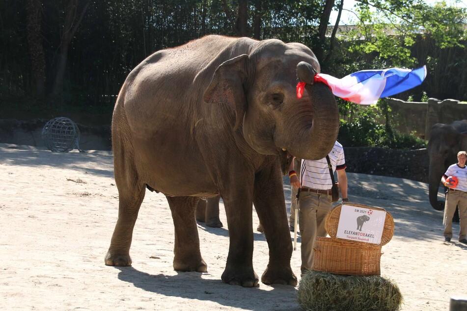 Elefanten-Kuh Yashoda zog die französische Flagge aus der Kiste.