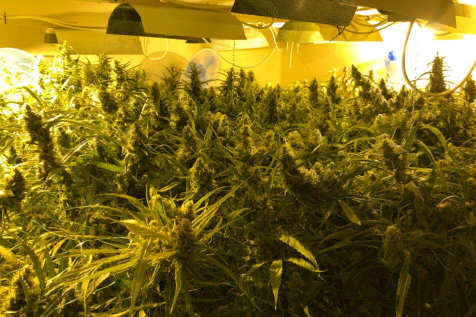 Knapp 700 Hanf-Pflanzen in Einfamilienhaus entdeckt