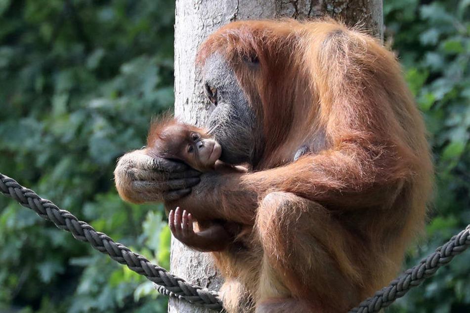 """Das Jungtier von Orang-Utan-Dame Padana hat jetzt einen Namen: Sari, zu deutsch """"Essenz""""."""