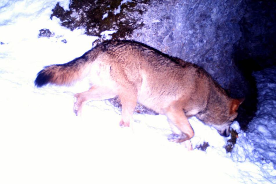 Bei den umherziehenden Tieren handle es sich meist um Jungwölfe aus den Alpen oder Norddeutschland.