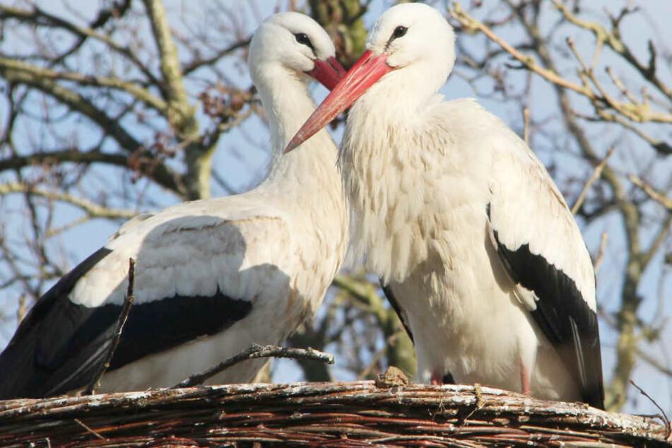 Internet-Storch Rolf verschollen: Neues Liebesglück in seinem Nest