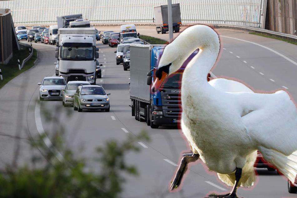 Mehrere Autofahrer sichteten die Schwan auf der A72. (Symbolbild)