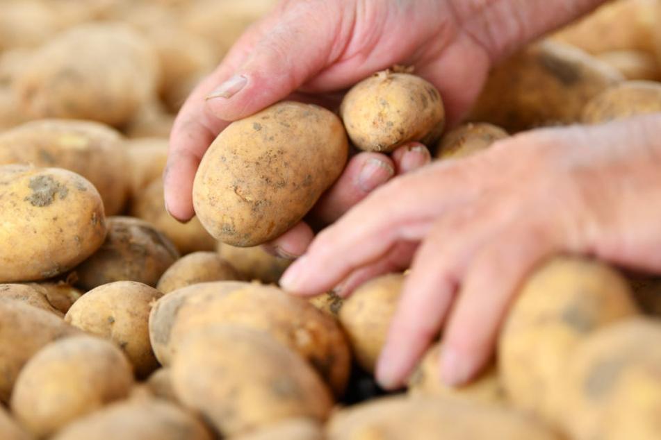 Die Kartoffelernte in Deutschland hat begonnen.