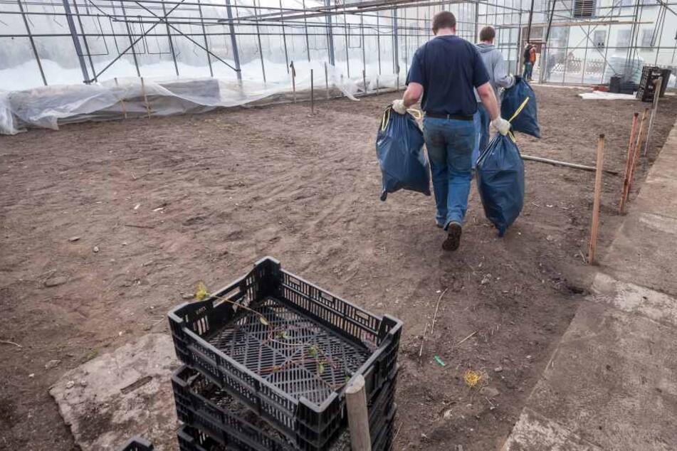Killer-Bakterie zwingt Sachsen-Gärtnerei zum Kahlschlag