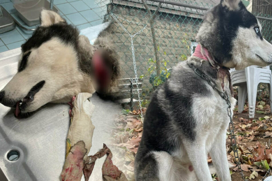 Cruel owners tie their husky to a fence and move out of state
