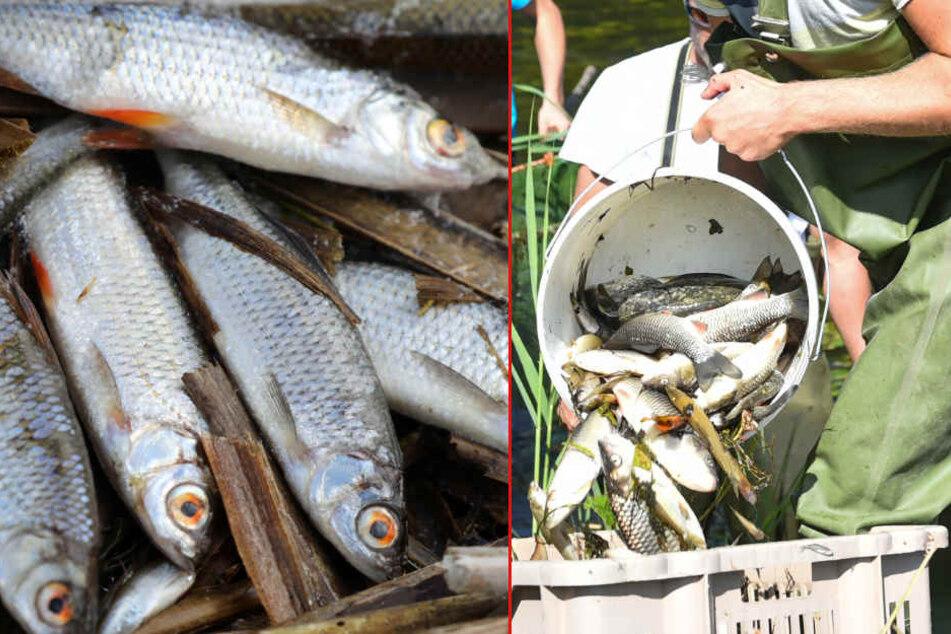 Angst vor Starkregen: Das Fischsterben an der Elbe geht weiter!