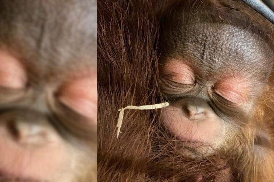 Ist das süß! Rostocker Zoo freut sich über Nachwuchs bei Orang-Utans