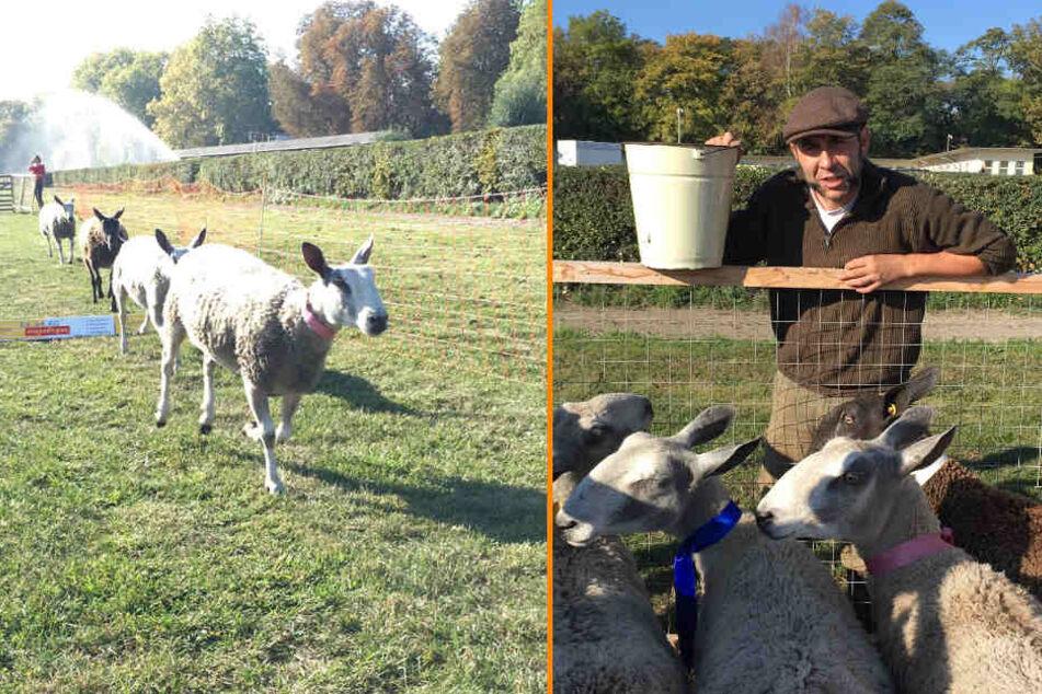 Die Schafe laufen auf einer Strecke von 100 Metern. Für die nötige Motivation sorgt Schäfer Henry Seifert (48) am Ziel mit einem Eimer Futter.