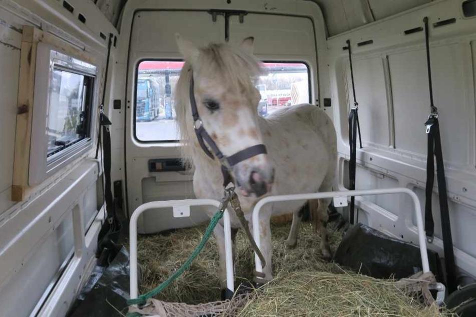 Eine Frau transportierte in dem Auto ein Pony.