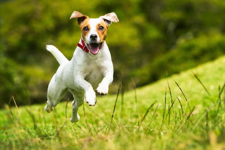 Ein Hund rannte am gestrigen Donnerstag in den Tod. (Symbolbild)