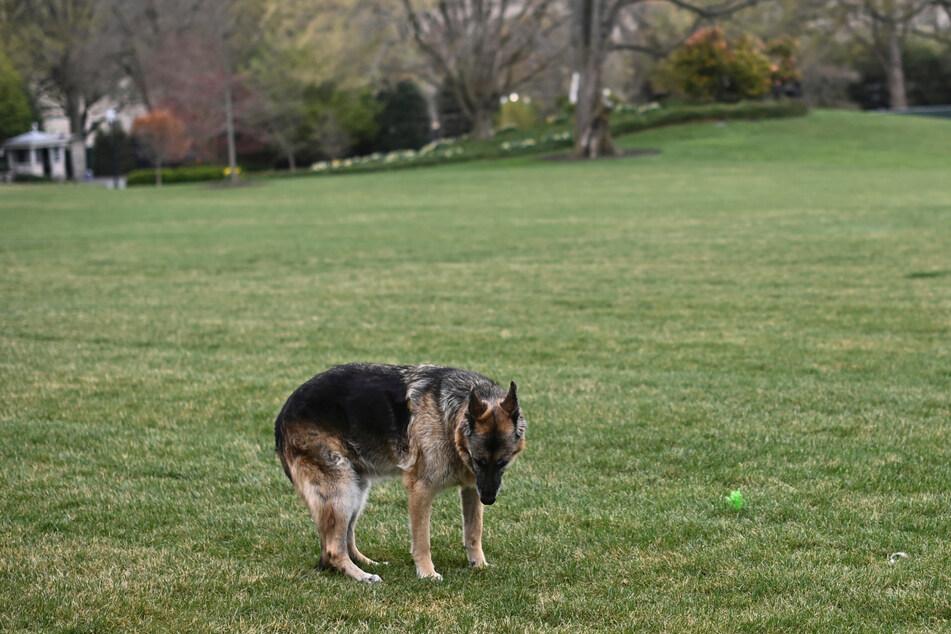 Ein Bild aus besseren Tagen: Schäferhund Champ auf dem Südrasen des Weißen Hauses.