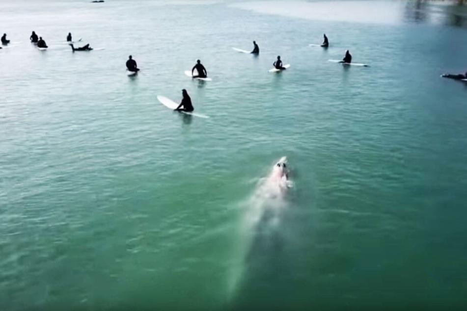 Der Wal näherte sich furchtlos den 15 Surfern.