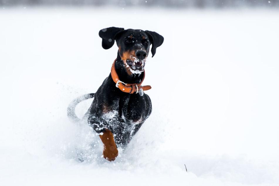Beim winterlichen Spaziergang mit dem Hund sollten Halter darauf achten, dass das Tier immer in Bewegung bleibt, sonst droht eine Unterkühlung.