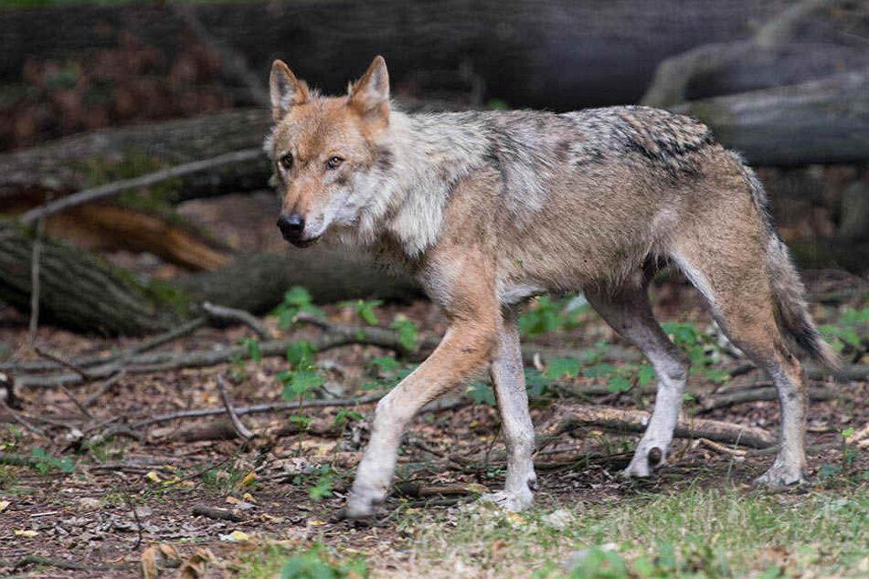 In Sachsen gibt es 20 Wolfsrudel und damit die meisten in Deutschland.