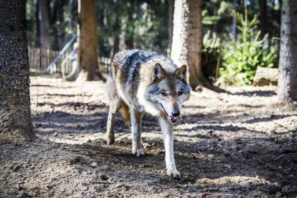 Wölfe mögen keine Gegenwehr. Das wissen offenbar auch die Borstenviecher.