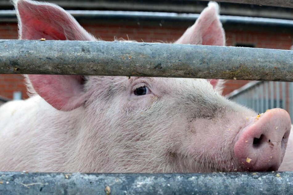 Mehrmals mussten Schweine aus der Zuchtanlage notgeschlachtet werden. (Symbolbild)