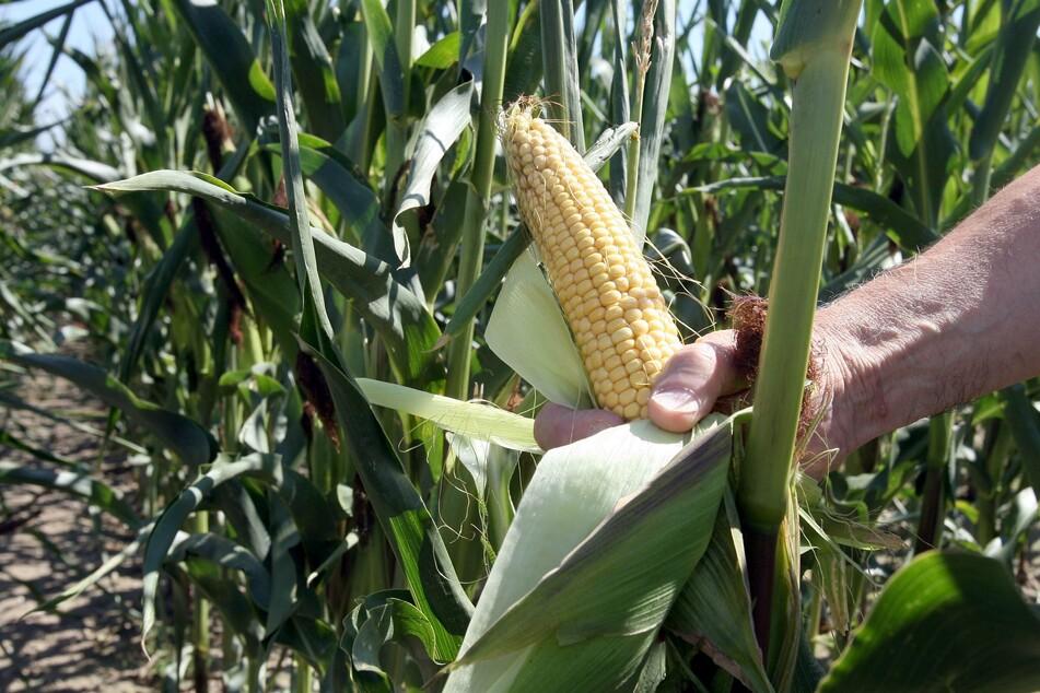 Millionenfach verkauft: Verbotener Gen-Mais im Umlauf!
