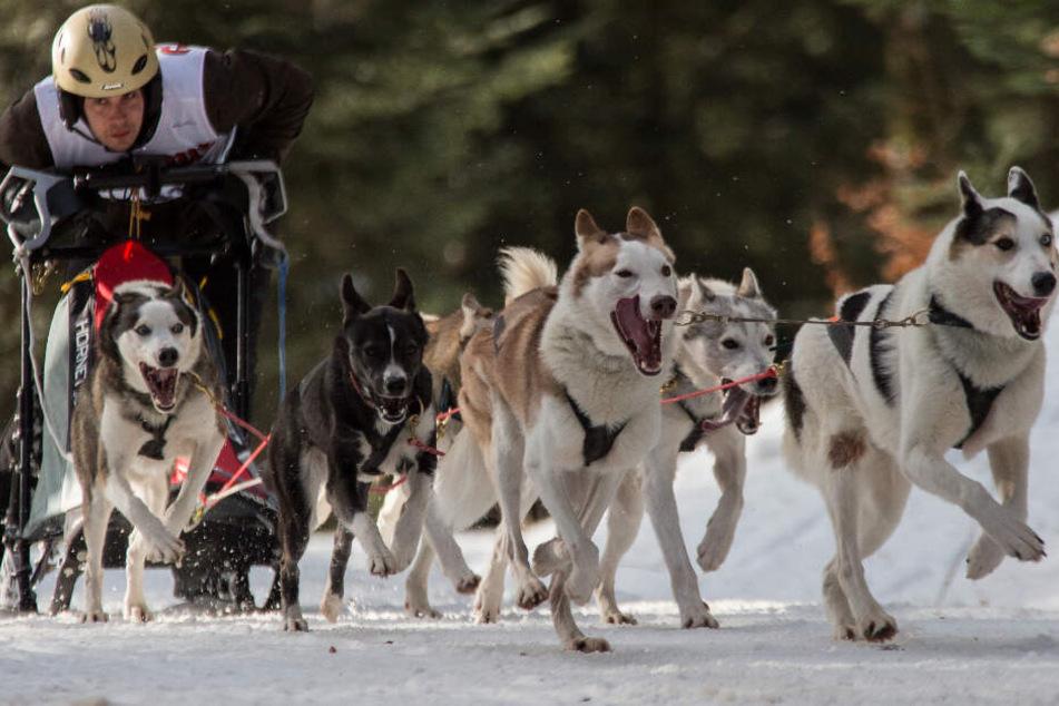 Besuchermagnet: Heute rennen 1000 Hunde um den Sieg