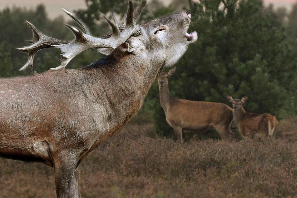 Natur-Schauspiel in der Heide! Hier sind Sachsens Hirsche richtig horny!