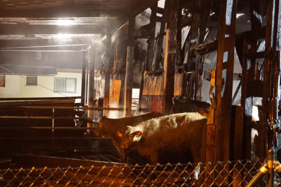 Die Tiere wurden aus dem brennenden Stall gerettet.