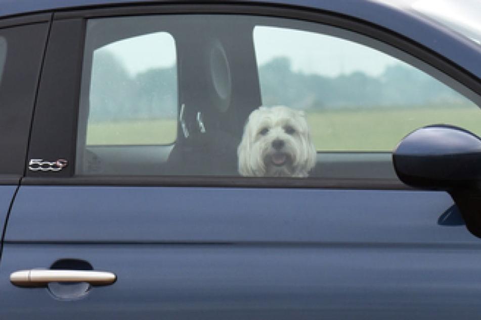 Seinen Hund im Sommer allein im Auto zu lassen, wird schnell zum Verstoß gegen das Tierschutzgesetz. (Symbolbild)