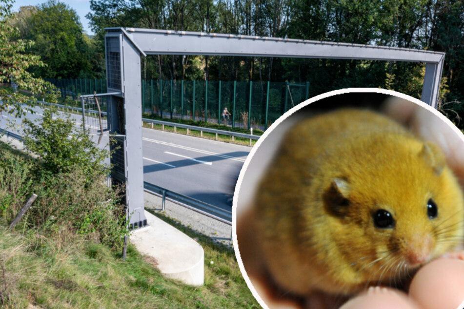 Haselmaus-Hilfe? Teure Tier-Brücke erntet Spott und Unverständnis