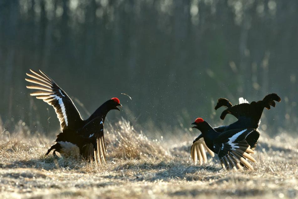 Die Hähne der Birkhühner sind für ihre ausdauernden Balzkämpfe bekannt. Leider immer seltener in Sachsen.