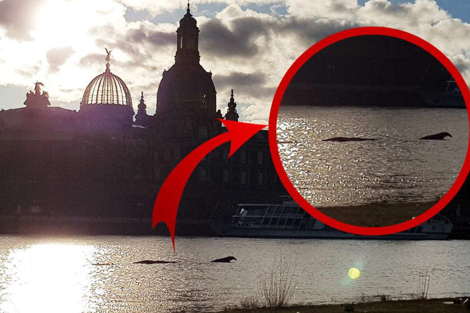 """Das """"Ungeheuer"""" tauchte in der Elbe auf."""