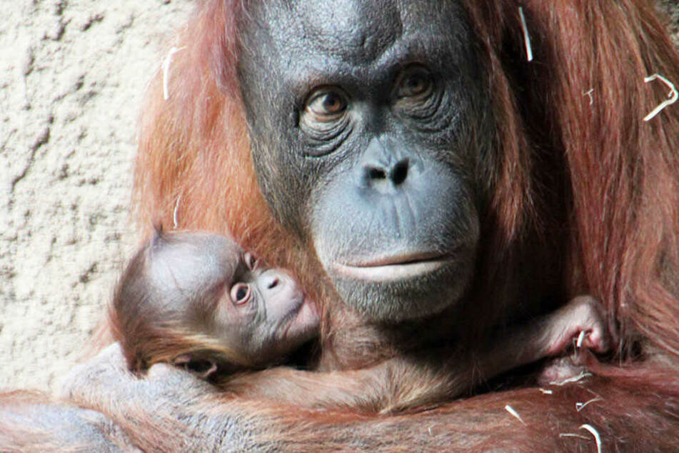 Orang-Utan-Mutter Raja kümmert sich liebevoll um ihren Nachwuchs.