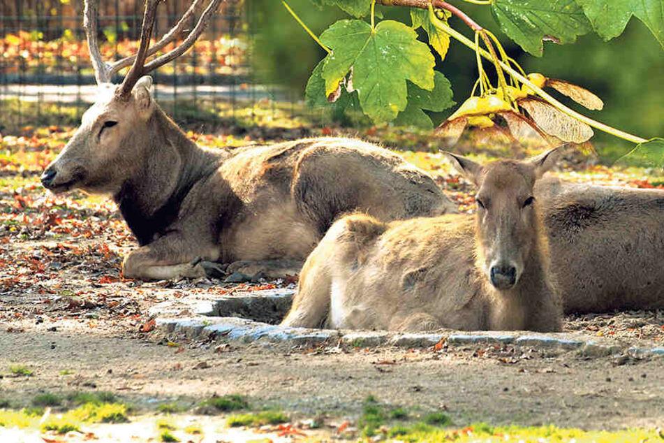 Pfleger füttern im Dresdner Zoo drei Hirsche tot