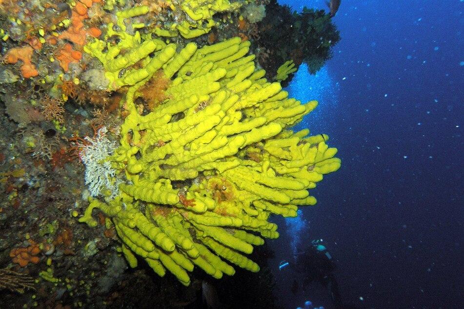 Die Schwammart kommt zum Beispiel an der Küste Kroatiens und anderen Gegenden des Mittelmeeres vor. Sie könnte ein Mittel gegen Corona sein.